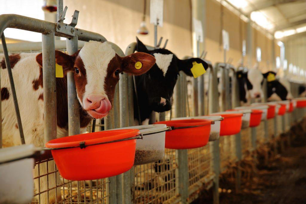 Mjölkkalvar
